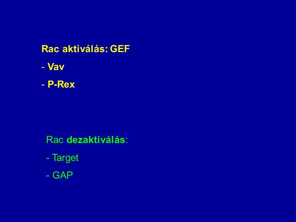 Rac aktiválás: GEF - Vav - P-Rex Rac dezaktiválás: - Target - GAP