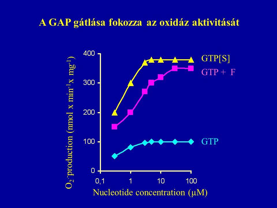 Nucleotide concentration (µM) O 2.- production (nmol x min -1 x mg -1 ) GTP GTP + F GTP[S] A GAP gátlása fokozza az oxidáz aktivitását