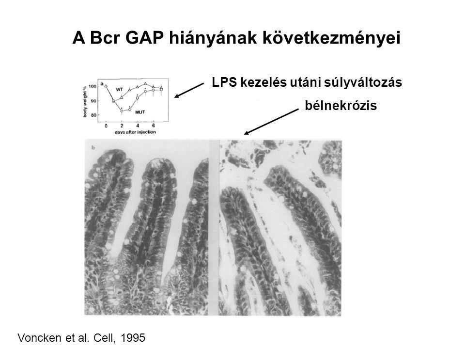 A Bcr GAP hiányának következményei LPS kezelés utáni súlyváltozás bélnekrózis Voncken et al.
