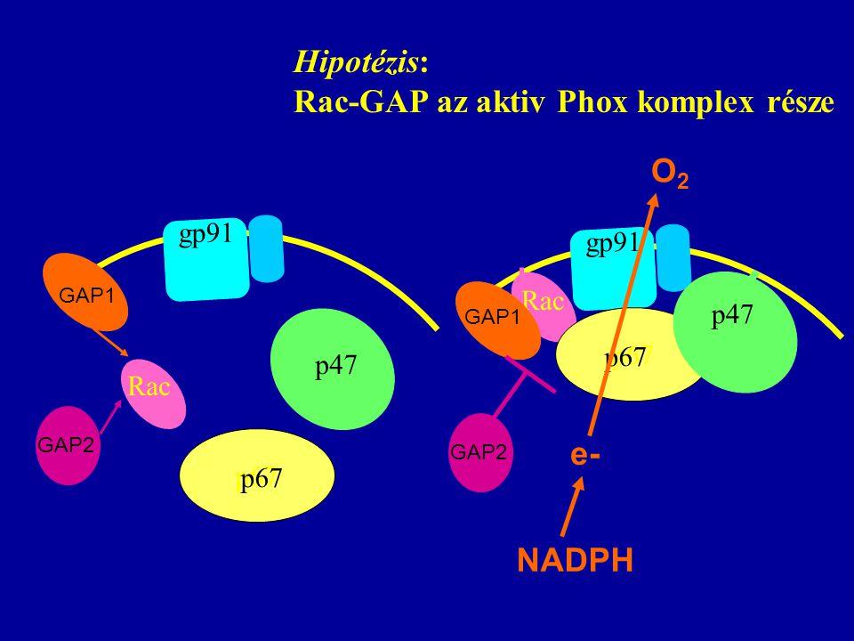 Rac p67 p47 gp91 Rac p67 p47 gp91 e- NADPH O2O2 GAP1 GAP2 GAP1 GAP2 Hipotézis: Rac-GAP az aktiv Phox komplex része