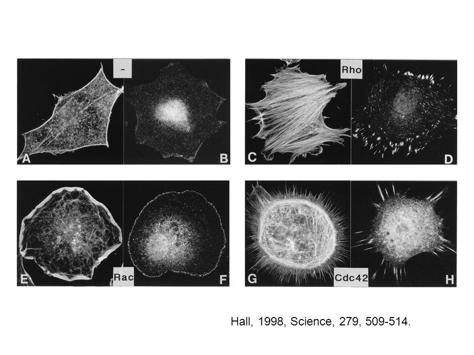 Vav csak a Rac-ot aktiválja Patel et al. 2002, MBC, 13., 1215-1226.
