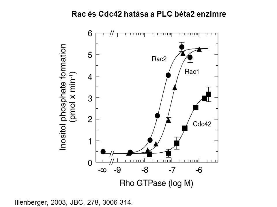 Rac és Cdc42 hatása a PLC béta2 enzimre