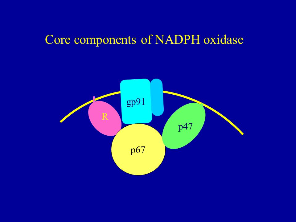 R p67 p47 gp91 Core components of NADPH oxidase