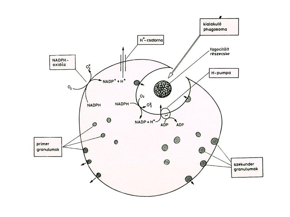RacGTP szükséges az oxidáz fenntartott aktivitásához Működő enzimhez adva Moskwa et al. 2002.