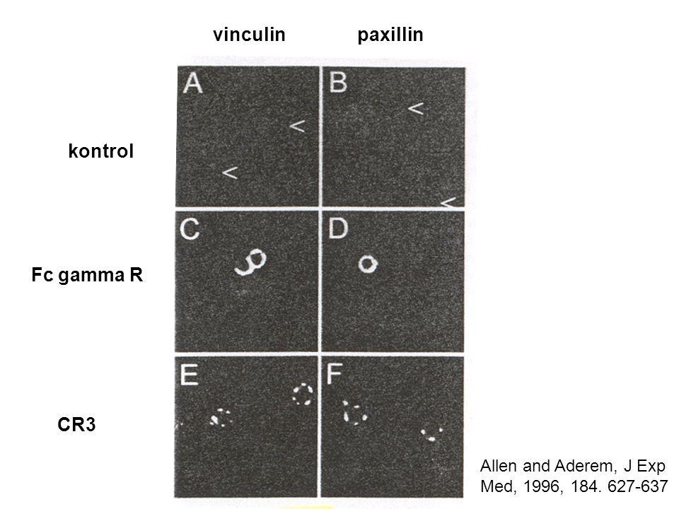 vinculinpaxillin Fc gamma R CR3 kontrol Allen and Aderem, J Exp Med, 1996, 184. 627-637