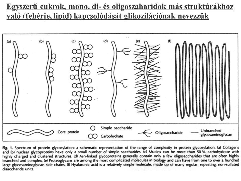 123 Egyszerű cukrok, mono, di- és oligoszaharidok más struktúrákhoz való (fehérje, lipid) kapcsolódását glikozilációnak nevezzük
