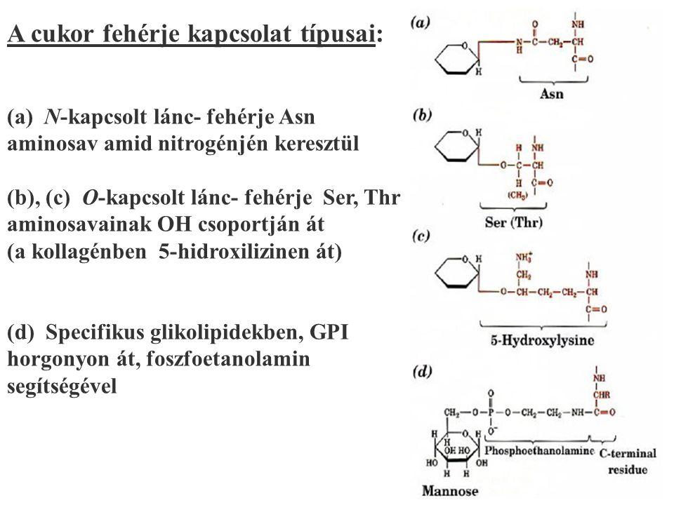 125 A cukor fehérje kapcsolat típusai: (a) N-kapcsolt lánc- fehérje Asn aminosav amid nitrogénjén keresztül (b), (c) O-kapcsolt lánc- fehérje Ser, Thr