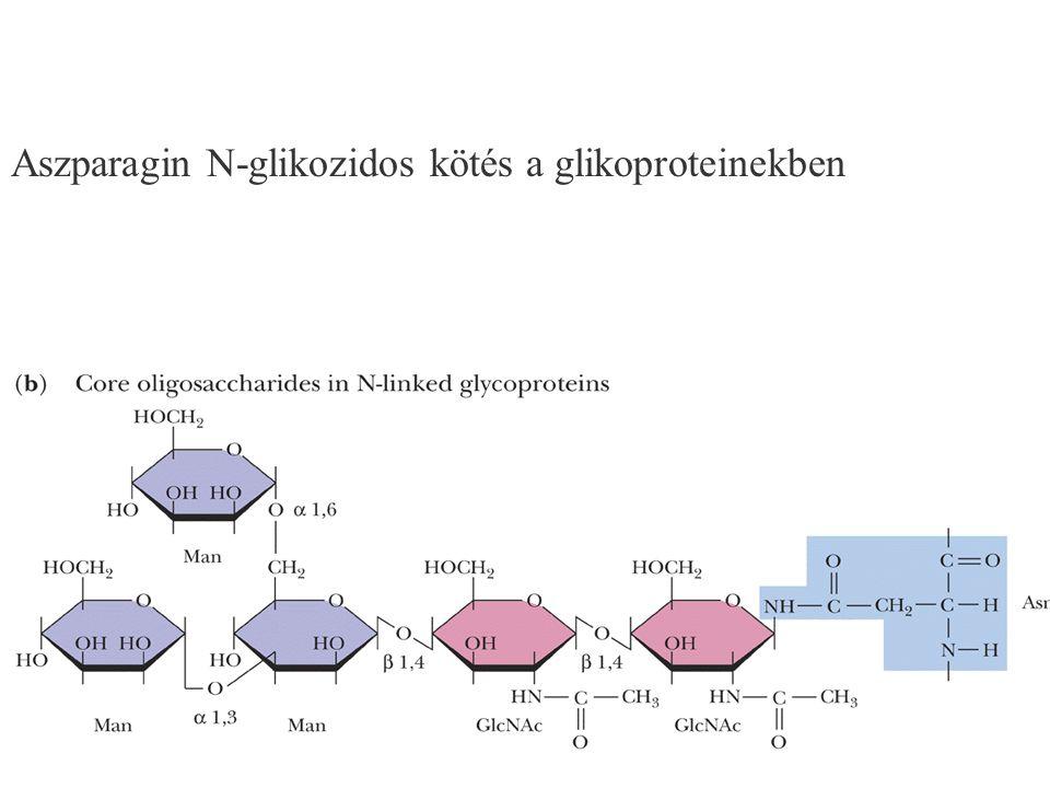 126 Aszparagin N-glikozidos kötés a glikoproteinekben