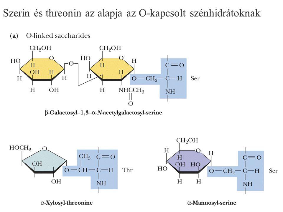 127 Szerin és threonin az alapja az O-kapcsolt szénhidrátoknak