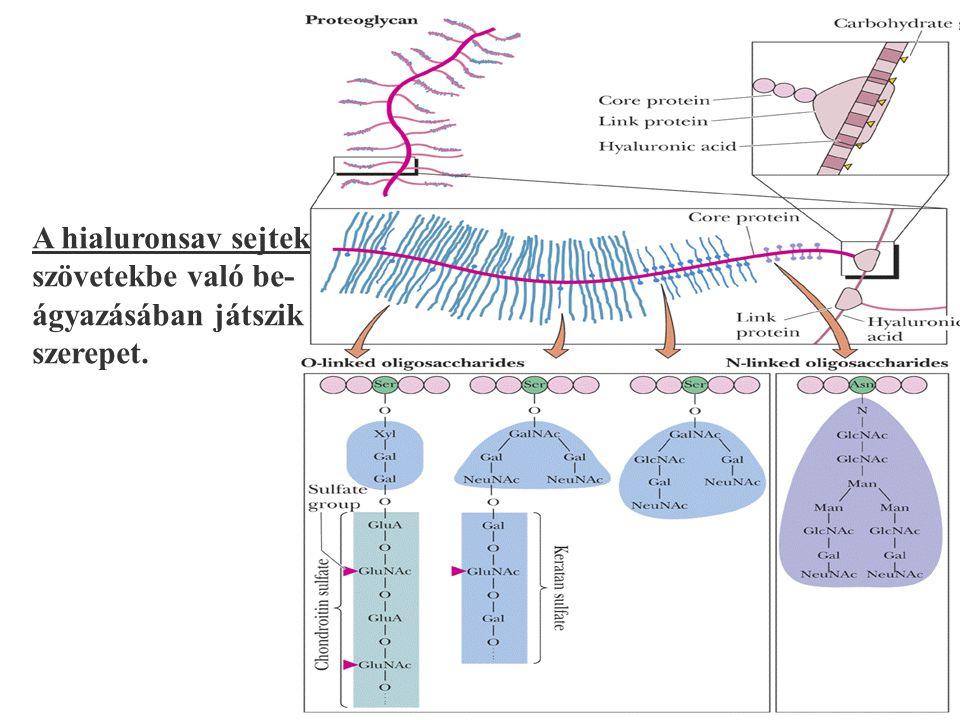 135 A hialuronsav sejtek szövetekbe való be- ágyazásában játszik szerepet.