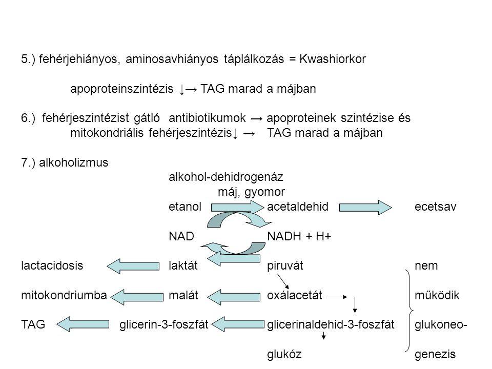 5.) fehérjehiányos, aminosavhiányos táplálkozás = Kwashiorkor apoproteinszintézis ↓→ TAG marad a májban 6.) fehérjeszintézist gátlóantibiotikumok → apoproteinek szintézise és mitokondriális fehérjeszintézis↓ →TAG marad a májban 7.) alkoholizmus alkohol-dehidrogenáz máj, gyomor etanolacetaldehidecetsav NADNADH + H+ lactacidosislaktátpiruvátnem mitokondriumbamalátoxálacetátműködik TAG.glicerin-3-foszfátglicerinaldehid-3-foszfátglukoneo- glukózgenezis