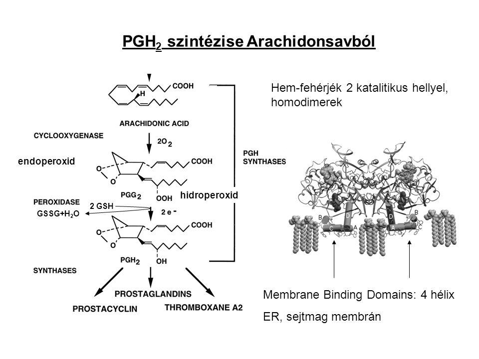 PGH 2 szintézise Arachidonsavból Membrane Binding Domains: 4 hélix ER, sejtmag membrán Hem-fehérjék 2 katalitikus hellyel, homodimerek endoperoxid hidroperoxid 2 GSH GSSG+H 2 O