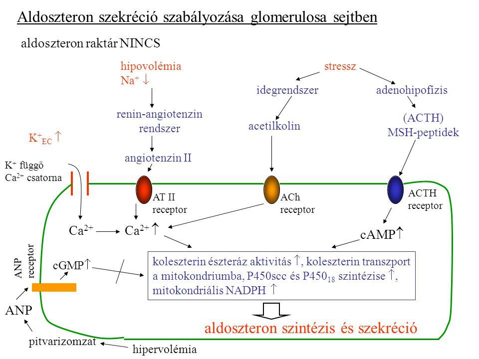 Aldoszteron szekréció szabályozása glomerulosa sejtben aldoszteron raktár NINCS hipovolémia Na +  stressz adenohipofízisidegrendszer renin-angiotenzin rendszer angiotenzin II acetilkolin (ACTH) MSH-peptidek AT II receptor ACh receptor ACTH receptor K + függő Ca 2+ csatorna K + EC  cAMP  Ca 2+  Ca 2+ koleszterin észteráz aktivitás , koleszterin transzport a mitokondriumba, P450scc és P450 18 szintézise , mitokondriális NADPH  aldoszteron szintézis és szekréció cGMP  ANP receptor hipervolémia pitvarizomzat ANP