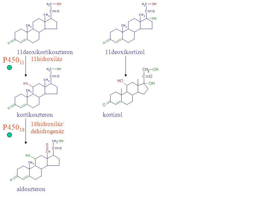 Kortizol szekréció szabályozása stresszCRF adenohipofízis ACTH (hiányában mvesekéreg elsorvad) ACTH receptor cAMP  koleszterin észteráz aktivitás , LDL-koleszterin felvétel , koleszterin transzport a mitokondriumba, P450scc és P450 17, P450 21, P450 11 szintézise  kortizol szintézis és szekréció Diurnális ritmus, kb.