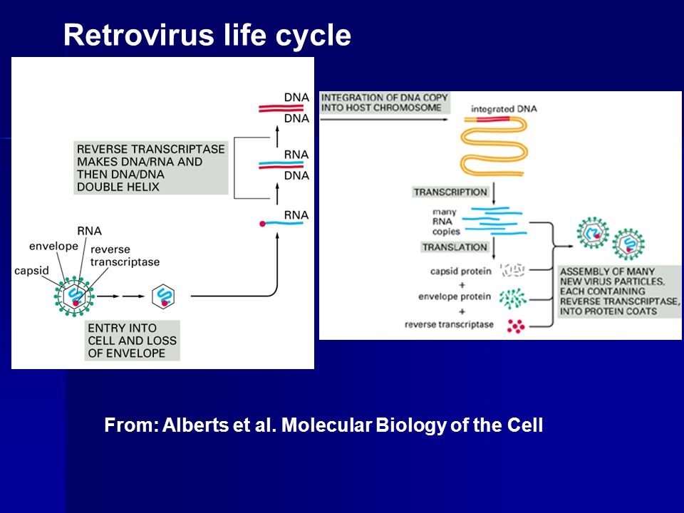 Retrovirus life cycle From: Alberts et al. Molecular Biology of the Cell