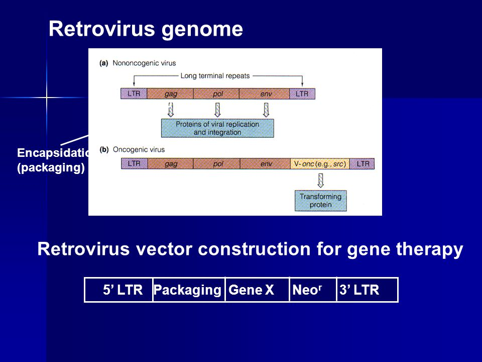 Retrovirus genome 5' LTR Packaging Gene X Neo r 3' LTR Encapsidation (packaging) Retrovirus vector construction for gene therapy