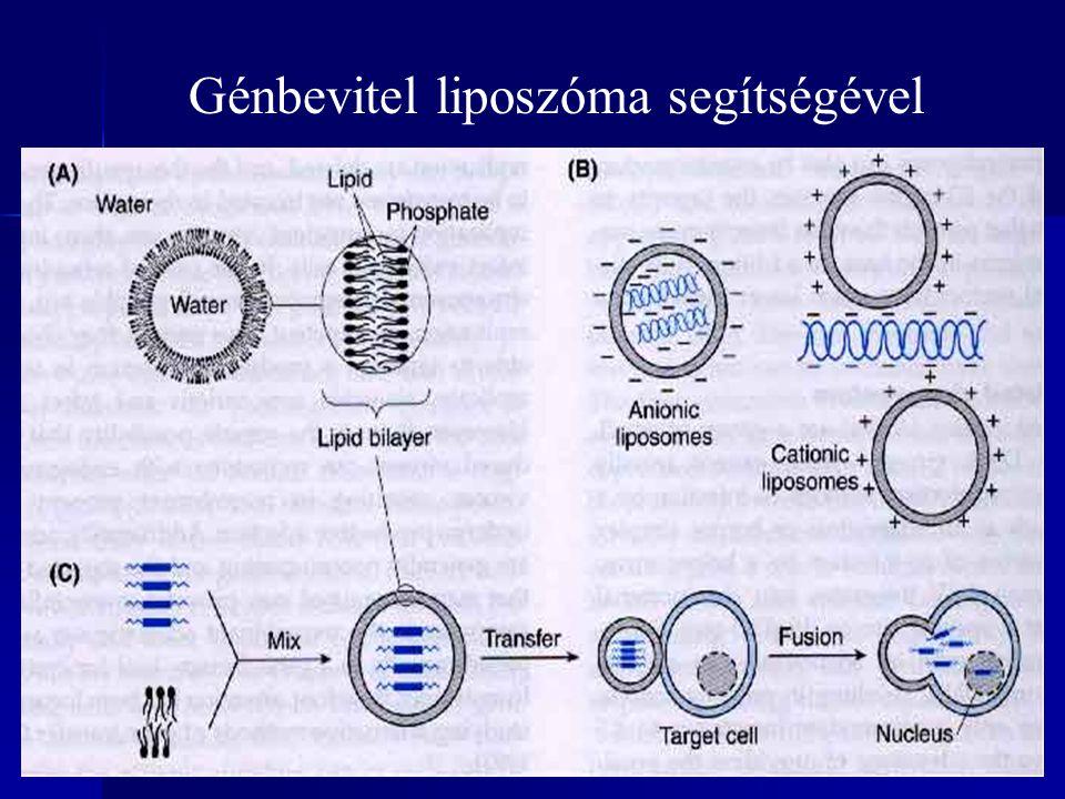 Génbevitel liposzóma segítségével