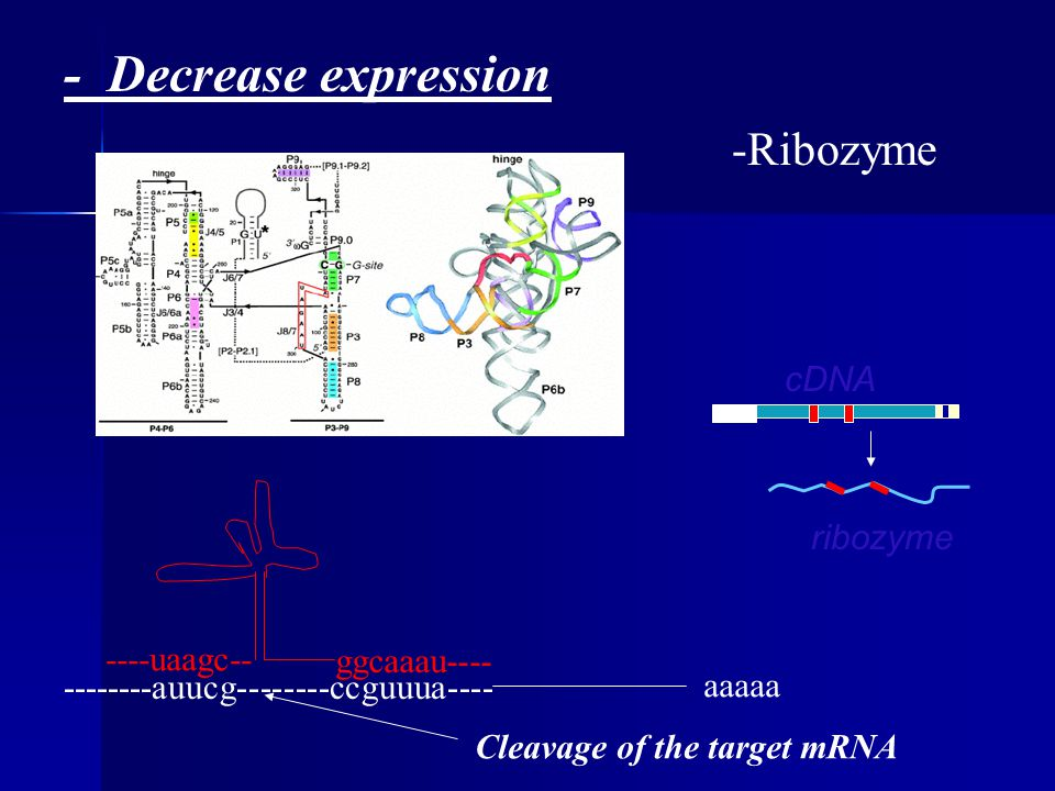 - Decrease expression -Ribozyme aaaaa --------auucg--------ccguuua---- ----uaagc-- ggcaaau---- cDNA ribozyme Cleavage of the target mRNA