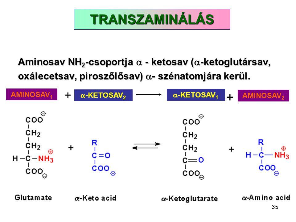 35 TRANSZAMINÁLÁS Aminosav NH 2 -csoportja  - ketosav (  -ketoglutársav, oxálecetsav, piroszőlősav)  - szénatomjára kerül.  -KETOSAV 2 + AMINOSAV