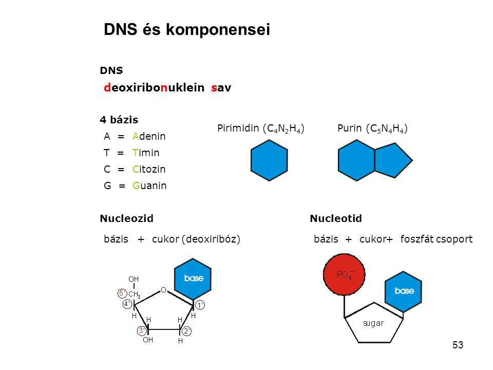 53 DNS és komponensei DNS deoxiribonuklein sav 4 bázis A = T = C = G = Adenin Timin Citozin Guanin Nucleozid bázis+ cukor (deoxiribóz) Pirimidin (C 4