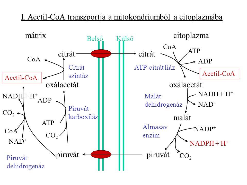 I. Acetil-CoA transzportja a mitokondriumból a citoplazmába mátrixcitoplazma Belső Külső citrát oxálacetát malát piruvát CO 2 ATP ADP ATP ADP CoA Acet