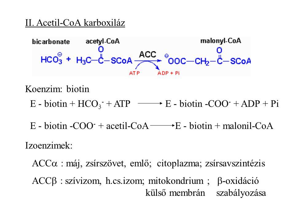II. Acetil-CoA karboxiláz Koenzim: biotin E - biotin + HCO 3 - + ATPE - biotin -COO - + ADP + Pi E - biotin -COO - + acetil-CoAE - biotin + malonil-Co