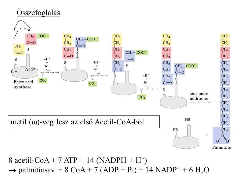 8 acetil-CoA + 7 ATP + 14 (NADPH + H + )  palmitinsav + 8 CoA + 7 (ADP + Pi) + 14 NADP + + 6 H 2 O Összefoglalás KE ACP metil (  )-vég lesz az első Acetil-CoA-ból