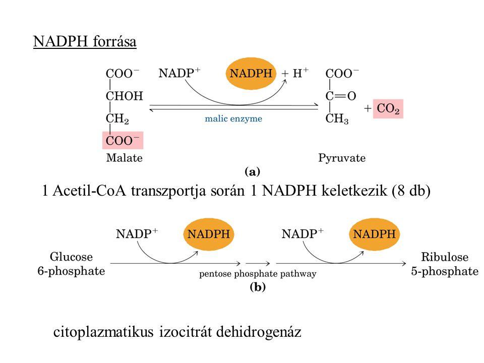 citoplazmatikus izocitrát dehidrogenáz NADPH forrása 1 Acetil-CoA transzportja során 1 NADPH keletkezik (8 db)