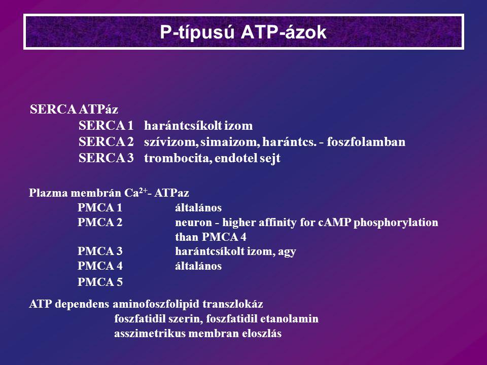 SERCA ATPáz SERCA 1 harántcsíkolt izom SERCA 2 szívizom, simaizom, harántcs. - foszfolamban SERCA 3 trombocita, endotel sejt Plazma membrán Ca 2+ - AT