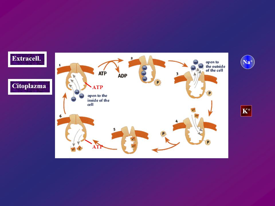 Extracell. Citoplazma Na + K+K+ ATP