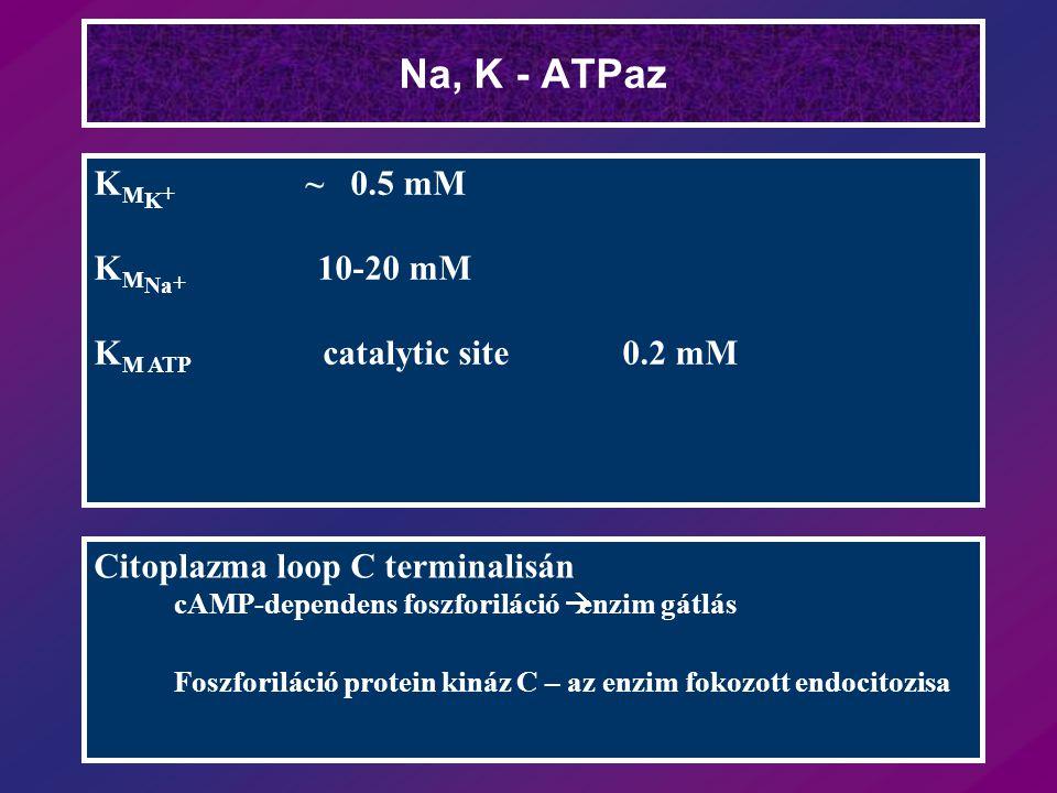Na, K - ATPaz K M K + ~ 0.5 mM K M Na + 10-20 mM K M ATP catalytic site 0.2 mM Citoplazma loop C terminalisán cAMP-dependens foszforiláció  enzim gát