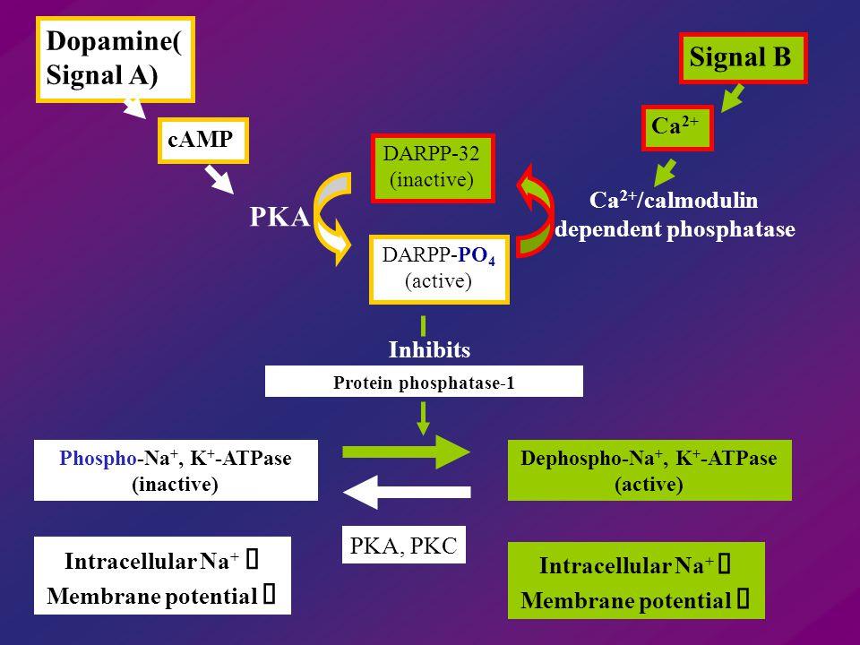 Dopamine( Signal A) cAMP Ca 2+ DARPP-32 (inactive) DARPP-PO 4 (active) Signal B PKA Ca 2+ /calmodulin dependent phosphatase Protein phosphatase-1 Phos