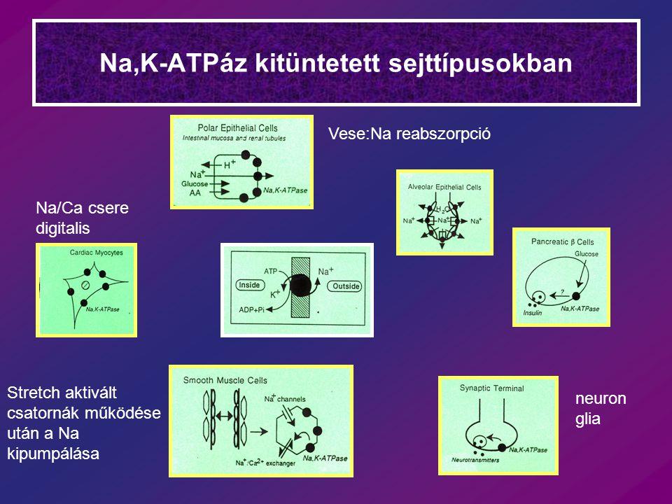 Na,K-ATPáz kitüntetett sejttípusokban Vese:Na reabszorpció Na/Ca csere digitalis Stretch aktivált csatornák működése után a Na kipumpálása neuron glia