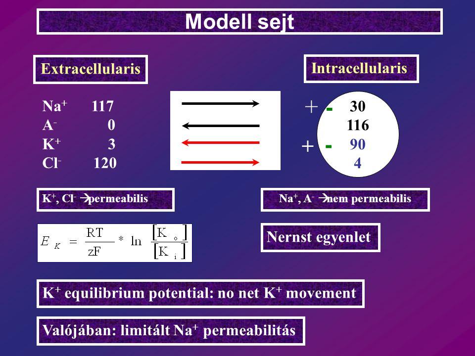 Na + 117 A - 0 K + 3 Cl - 120 Modell sejt Extracellularis Intracellularis 30 116 90 4 Nernst egyenlet K + equilibrium potential: no net K + movement V