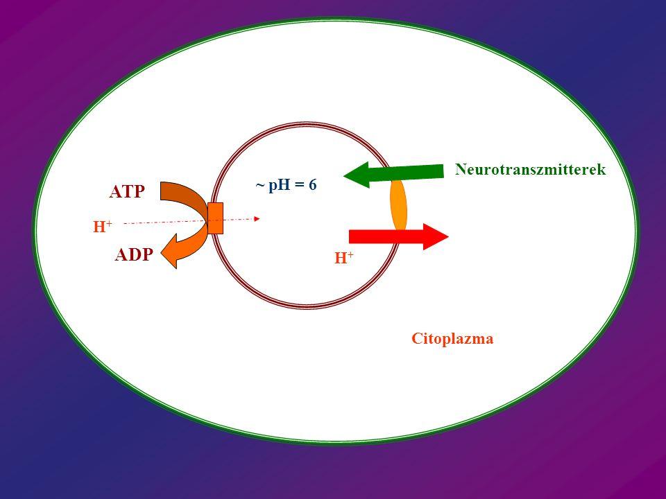 Neurotranszmitterek H+H+ Citoplazma ATP ADP H+H+ ~ pH = 6