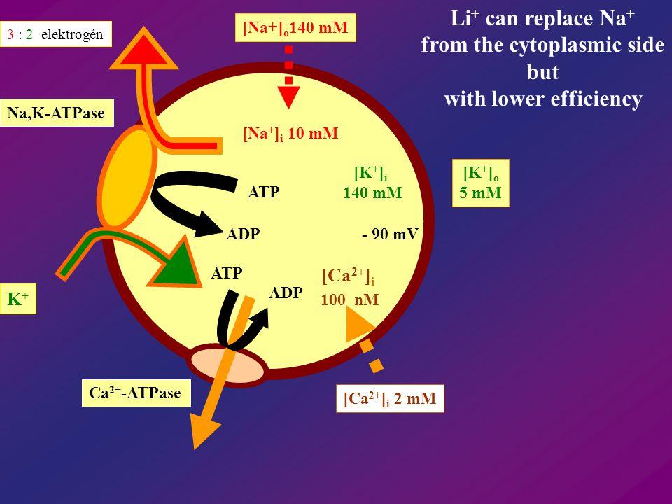 ATP ADP ATP ADP [Ca 2+ ] i K+K+ [Na + ] i 10 mM [Na+] o 140 mM 3 : 2 elektrogén Na,K-ATPase Ca 2+ -ATPase [Ca 2+ ] i 2 mM 100 nM [K + ] i 140 mM [K +