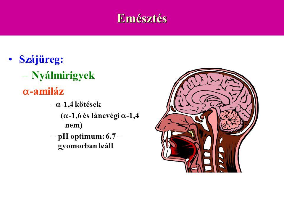 Emésztés Szájüreg: –Nyálmirigyek  -amiláz  -1,4 kötések (  -1,6 és láncvégi  -1,4 nem) –pH optimum: 6.7 – gyomorban leáll