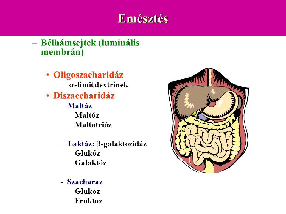 Emésztés –Bélhámsejtek (luminális membrán) Oligoszacharidáz –.  -limit dextrinek Diszaccharidáz –Maltáz Maltóz Maltotrióz –Laktáz:  -galaktozidáz Gl