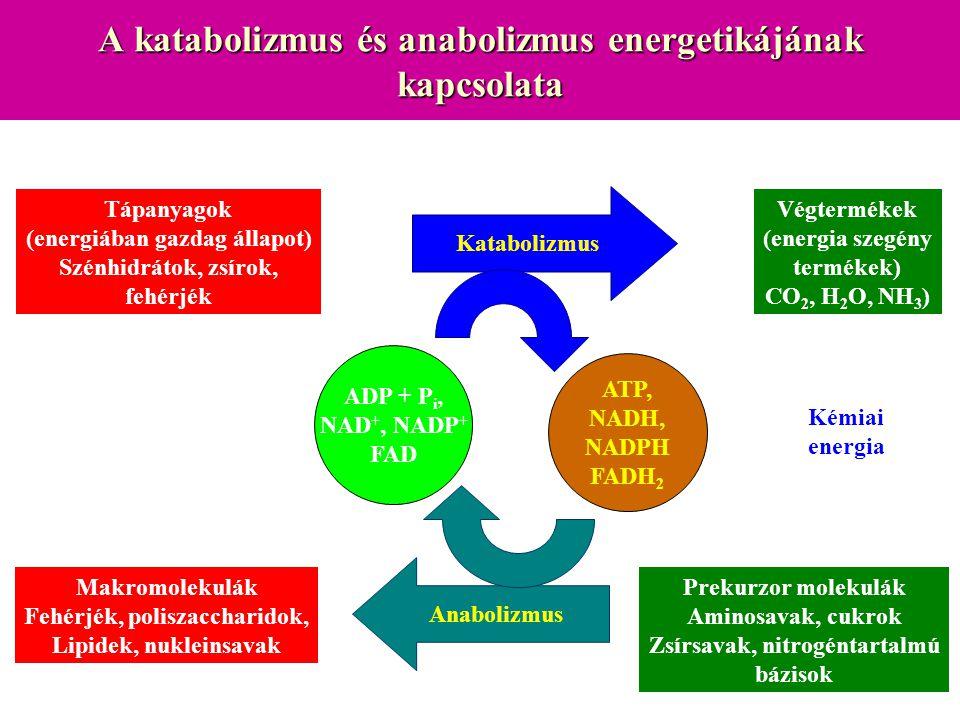 A katabolizmus és anabolizmus energetikájának kapcsolata Tápanyagok (energiában gazdag állapot) Szénhidrátok, zsírok, fehérjék Végtermékek (energia sz