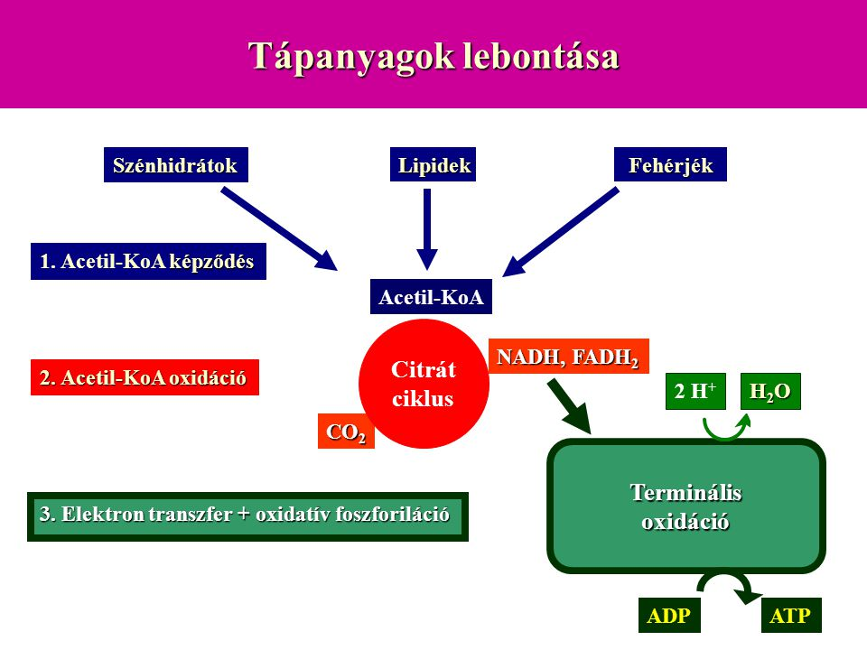 Tápanyagok lebontása Szénhidrátok Lipidek Fehérjék NADH, FADH 2 CO 2 H2OH2OH2OH2O ATP képződés 1. Acetil-KoA képződés 2. Acetil-KoA oxidáció 3. Elektr