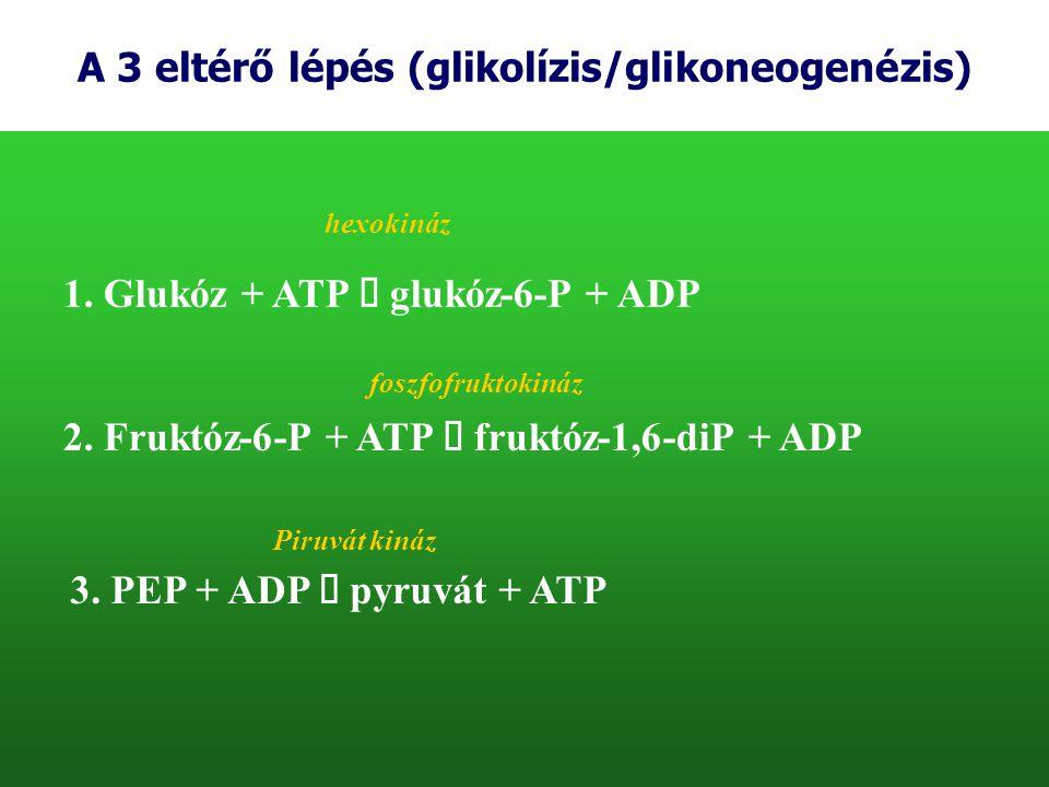 A 3 eltérő lépés (glikolízis/glikoneogenézis) 1. Glukóz + ATP  glukóz-6-P + ADP hexokináz 2. Fruktóz-6-P + ATP  fruktóz-1,6-diP + ADP foszfofruktoki