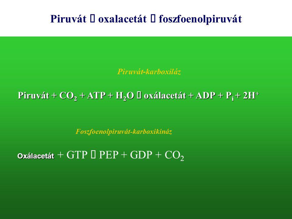 Piruvát  oxalacetát  foszfoenolpiruvát Piruvát + CO 2 + ATP + H 2 O  oxálacetát + ADP + P i + 2H + Oxálacetát Oxálacetát + GTP  PEP + GDP + CO 2 P