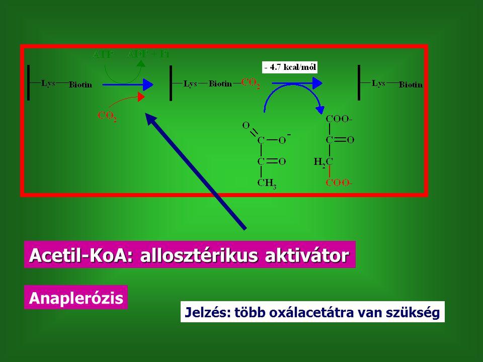 Acetil-KoA: allosztérikus aktivátor Anaplerózis Jelzés: több oxálacetátra van szükség