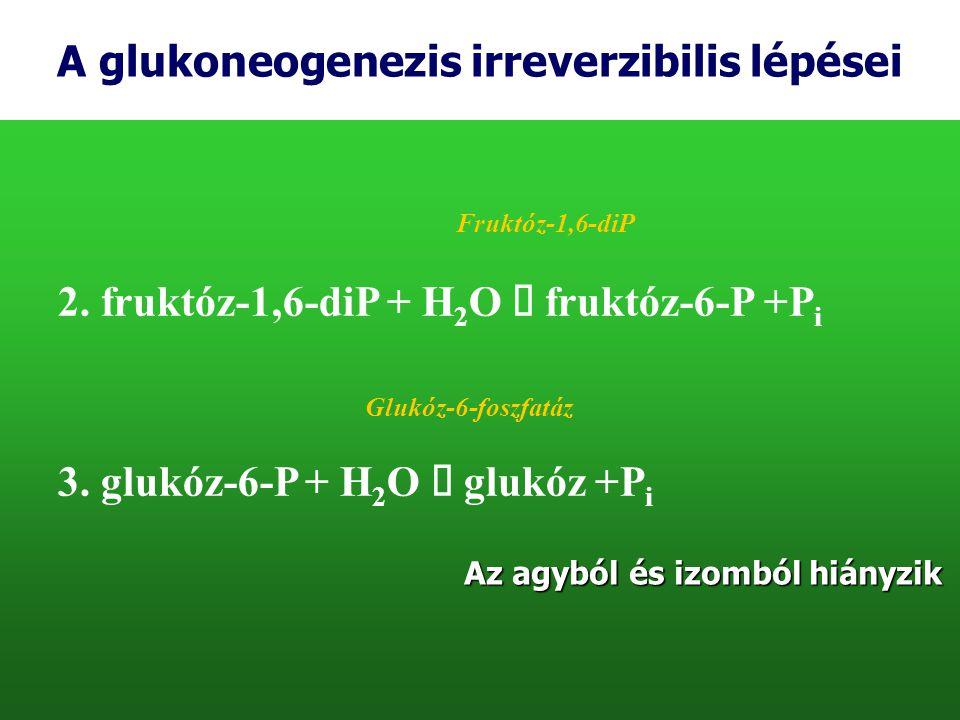 A glukoneogenezis irreverzibilis lépései 2. fruktóz-1,6-diP + H 2 O  fruktóz-6-P +P i 3. glukóz-6-P + H 2 O  glukóz +P i Fruktóz-1,6-diP Glukóz-6-fo