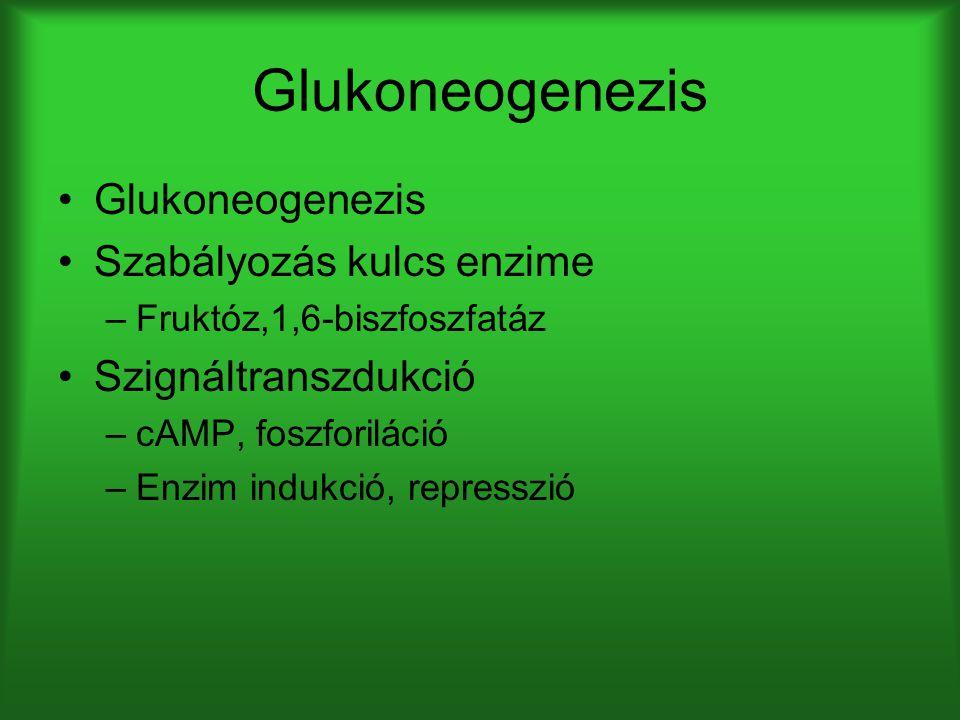 Glukoneogenezis Szabályozás kulcs enzime –Fruktóz,1,6-biszfoszfatáz Szignáltranszdukció –cAMP, foszforiláció –Enzim indukció, represszió