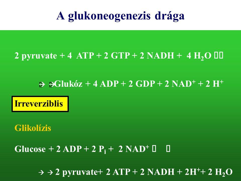 A glukoneogenezis drága 2 pyruvate + 4 ATP + 2 GTP + 2 NADH + 4 H 2 O    Glukóz + 4 ADP + 2 GDP + 2 NAD + + 2 H + Glikolízis Glucose + 2 ADP +