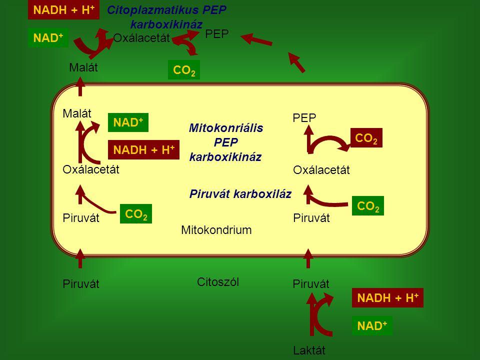 Laktát Piruvát Oxálacetát PEP Mitokondrium Citoszól NAD + NADH + H + CO 2 Piruvát karboxiláz Mitokonriális PEP karboxikináz Piruvát Oxálacetát Malát O
