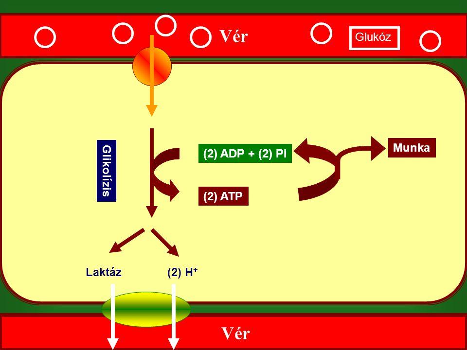 Vér Glikolízis Laktáz(2) H + (2) ADP + (2) Pi (2) ATP Vér Glukóz Munka