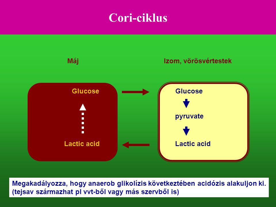 Cori-ciklus Glucose Lactic acid pyruvate MájIzom, vörösvértestek Megakadályozza, hogy anaerob glikolízis következtében acidózis alakuljon ki. (tejsav