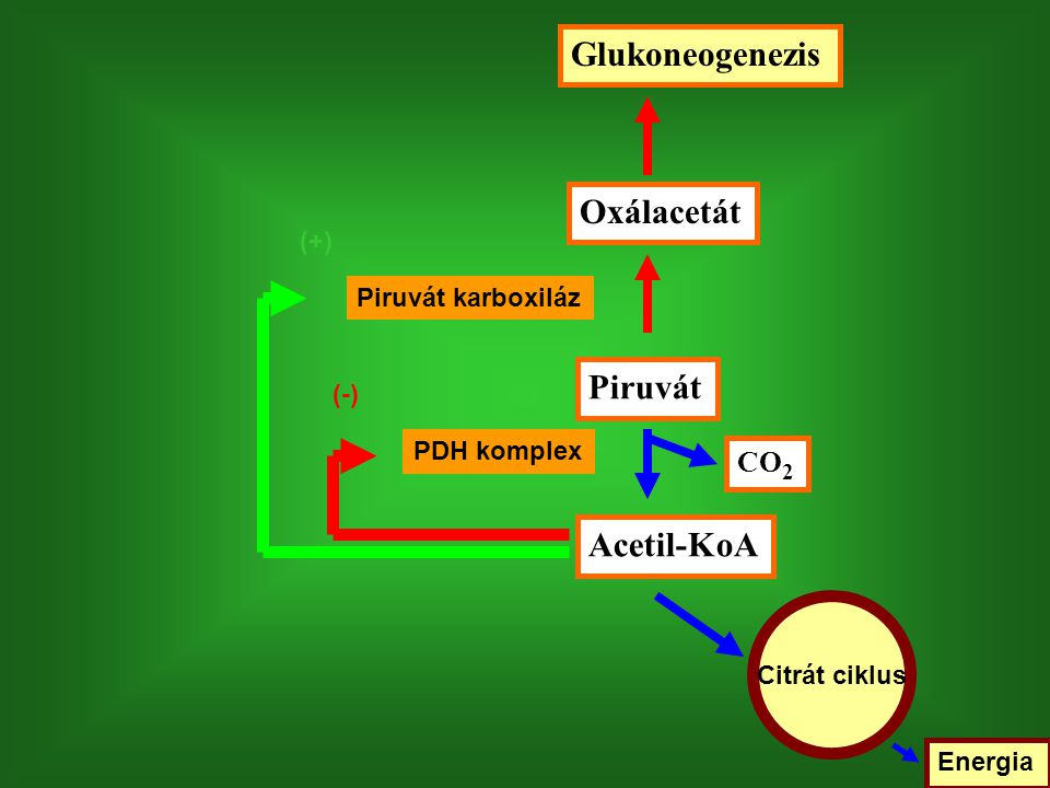 Piruvát Acetil-KoA Oxálacetát Glukoneogenezis CO 2 PDH komplex Piruvát karboxiláz Citrát ciklus Energia (-) (+)